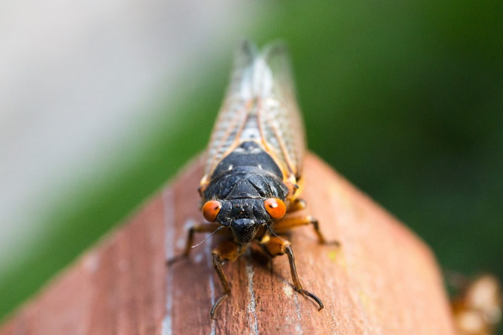 Cicadas are coming to Montgomery County, Maryland