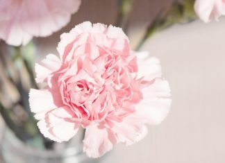 Carnations are the official flower of Mother's Day