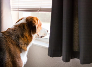 A Beagle mix hound dog is standing indoors by a big window with the curtaain and shutters open. The dog is looking through the window into the outdoors. Close up side view.